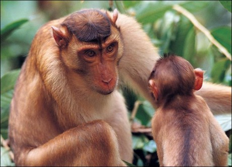 a study about simian hemorrhagic fever which is lethal to monkeys but harmless to humans The results of a comparative study of different routes of inoculation of simian hemorrhagic fever (shf) virus to macaca monkeys are presented as well as the results of virological examinations of .