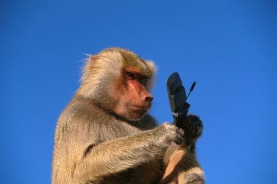 Monkey menace