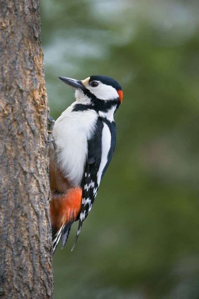 Compulsive Woodpecker