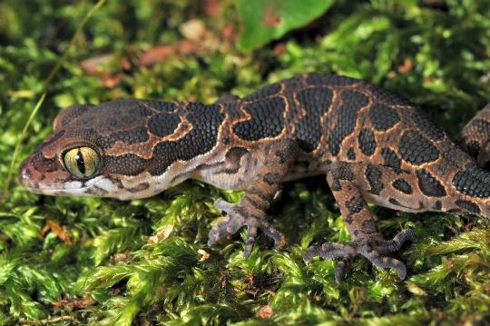 Geckoella Jeyporensis