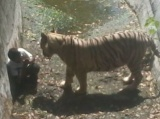 Tiger Kills Delhi Boy