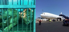 Rescued After Years Of Abuse, 33 Circus Lions Take A Flight To Their New Home In South Africa