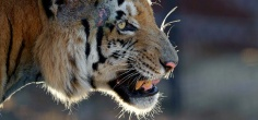 Man-Eater Tiger In UP Kills Fourth Man In Last Month, Forest Officials Still Clueless