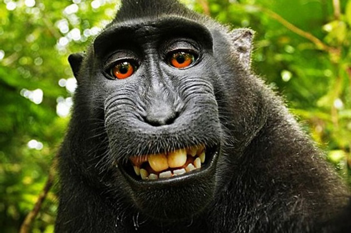 remember the monkey who clicked a selfie now peta files lawsuit