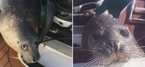 Fearless Seal Chased By 12 Hungry Killer Whales Jumps Onto Guy's Boat, Miraculously Survives