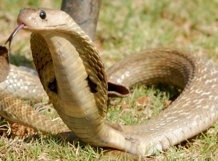 Man's True Best Friend, Doberman Dies Fighting 4 Cobras To