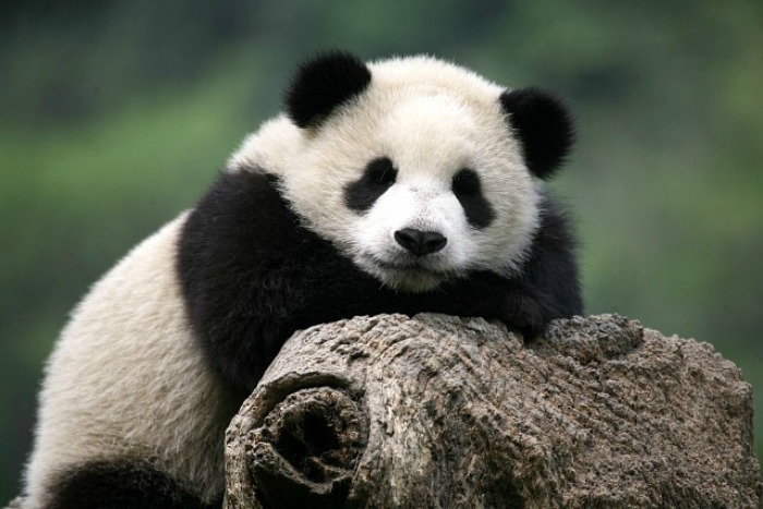 laws on the giant panda giant pandas come from a large flourishing family of same species  laws, and  posed a direct threat the survival of the giant pandas.