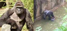 New Video Shows Gorilla Harambe Holding Hands With The Boy Before Being Shot