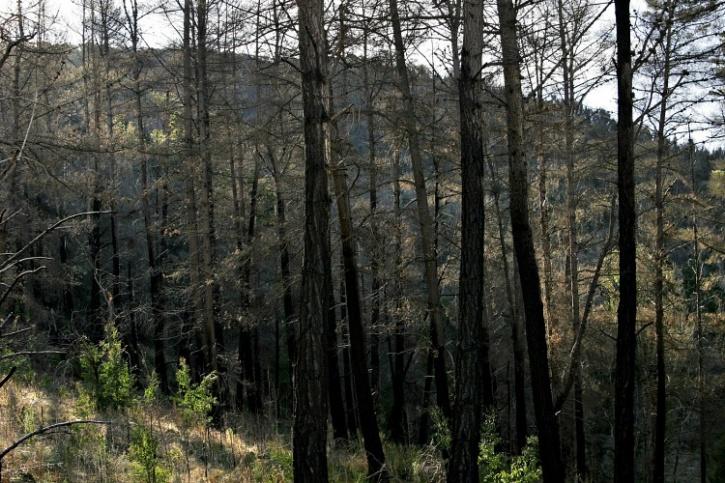 Burnt pine forest