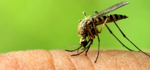 Why Do Mosquitoes Bite Some People More?