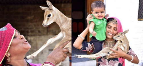 Women Of This Indian Community Breastfeed Baby Deers And It's Inspiring!