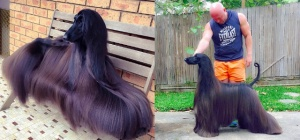 Afghan Hound Steals Dog Lovers' Hearts With Her Silky Hair And Poised Appearance!
