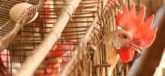 Now Bird Flu Enters Punjab, States On High Alert As Toll Rises To 70