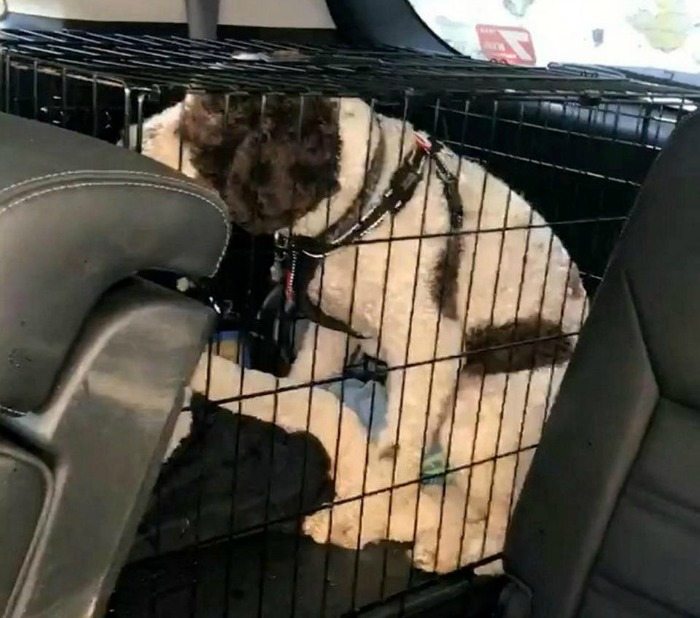 spaniel dog trapped inside a car