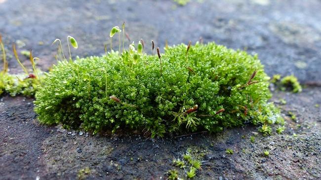 toxic moss