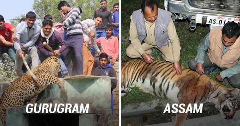 Bad day for big cats gurugram kills a leopard amp assam executes a