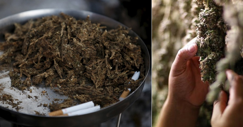 Idukki India  city pictures gallery : Idukki Gold The Legendary Indian Marijuana That You May Never Get ...