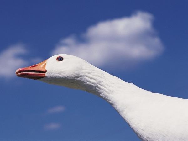 Goosey treats
