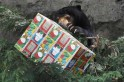 A sun bear holds a food treat, wrapped up as a Christmas present at Taronga Zoo in Sydney