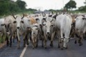 BRAZIL-CATTLE-MADCOW-FILE