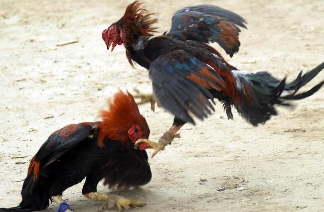 INDIA-FIGHT-COCKS