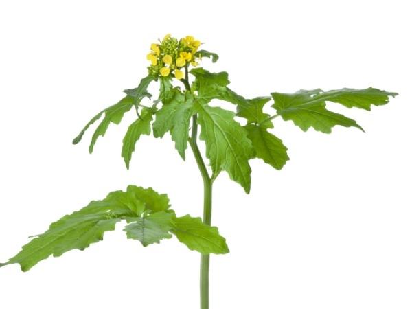 Mustard Leaves (Sarso)