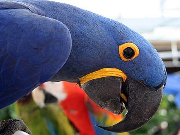 Hyacinth Macaw—$11,000