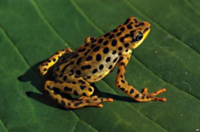 Rio Pescado stubfoot toad
