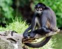 Wooly spider monkey
