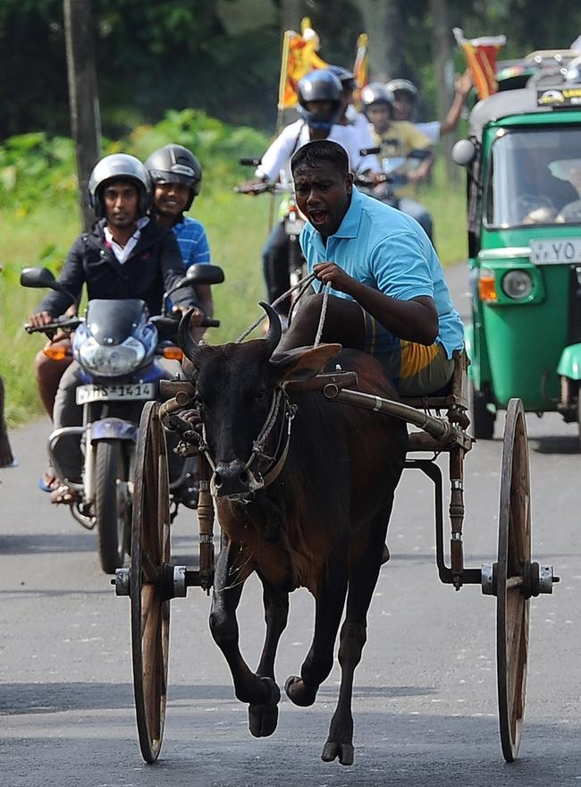 Bullock Cart Race in Sri Lanka