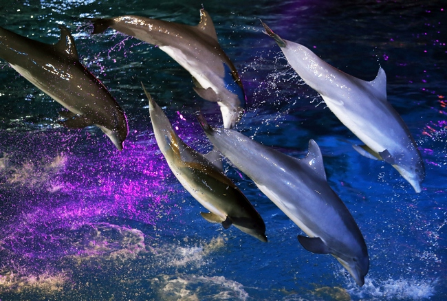 Dolphins perform on August 11, 2013 at the Marineland animal exhibition park in the French Riviera city of Antibes, southeastern France.