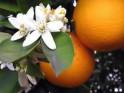 Essential Oil: Neroli:- Citrus Aurantium