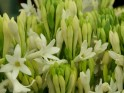 Essential Oil: Tuberose Absolute:- Polianthes Tuberosa
