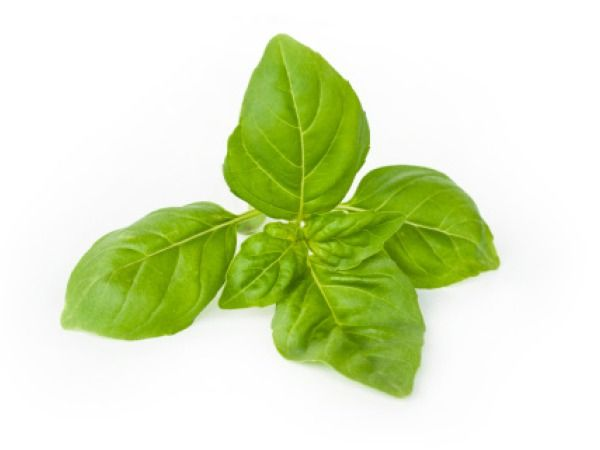 Essential Oil: Basil (Sweet) Ocimum Basilicum