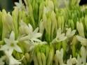 Rosemary:- Rosemarinus Officinalis