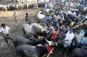 Celebrating Pongal with Jallikattu