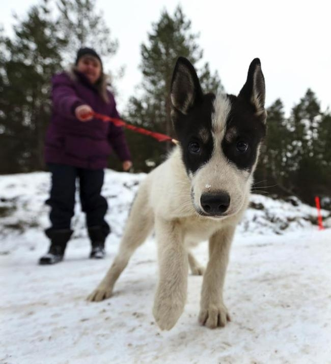 Stunning Aviemore Sled Dog Race