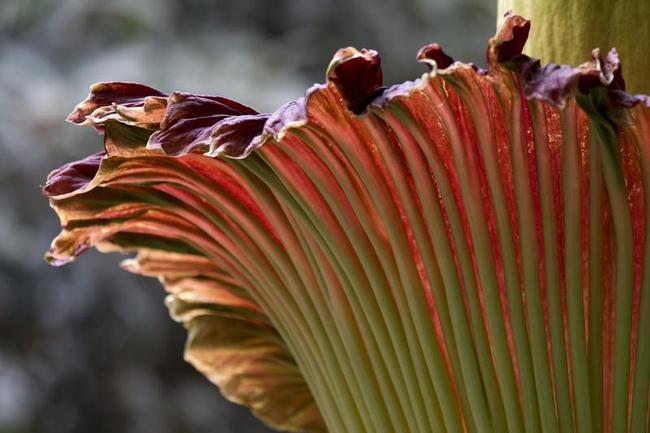 Stinky Flower Blooms in Washington