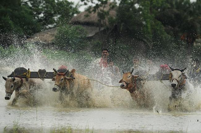 Bull Race in Kolkata