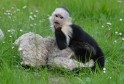 Justin Bieber's former pet - a capuchin monkey, Mally