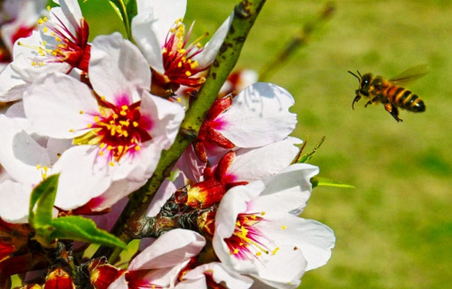 A honey bee flies near almond flowers, in full bloom at Badamwari (Almond Alcove) in Srinagar The trees have flowered earlier due to rise in temperature in the Valley marking the beginning of Spring. Photo credit: PTI