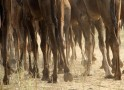 Herd of camels walk at Pushkar Fair in the desert Indian state of Rajasthan
