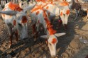 Hee-Haw! Donkey Fair in Gujarat