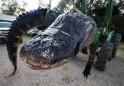 The 15-Foot Alligator