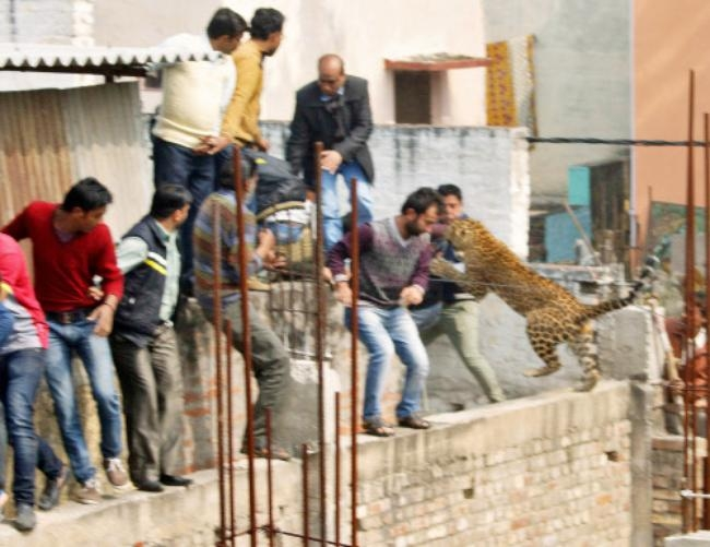 Leopard Causes Havoc in Meerut