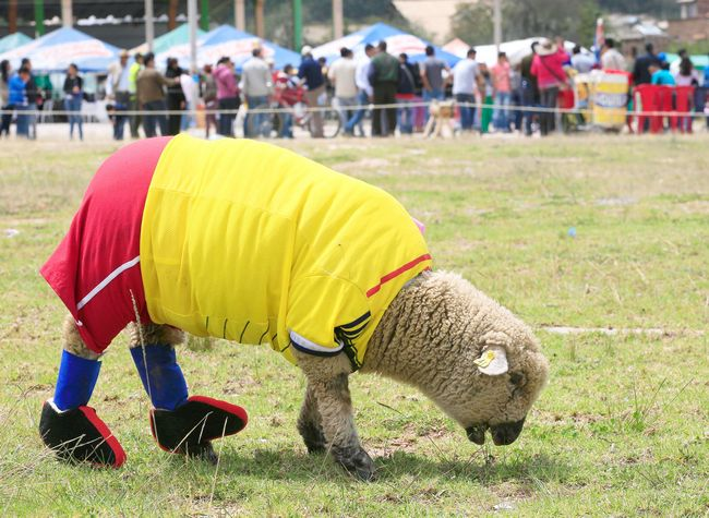 A sheep named Falcao wears a jersey in the colors of the Colombian national soccer team.