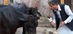 Today In WTF! - Pakistani TV Reporter Interviews Buffaloes For His News Report!