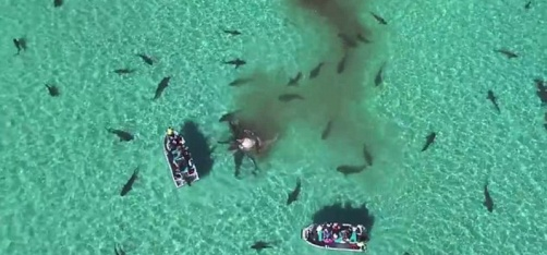 This Drone Video Of 70 Tiger Sharks Tearing Apart A Dead Whale Is Going Viral!