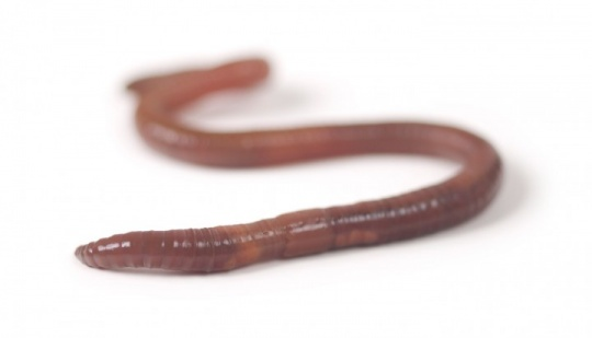 Cancer-Causing Worm Heals Wounds