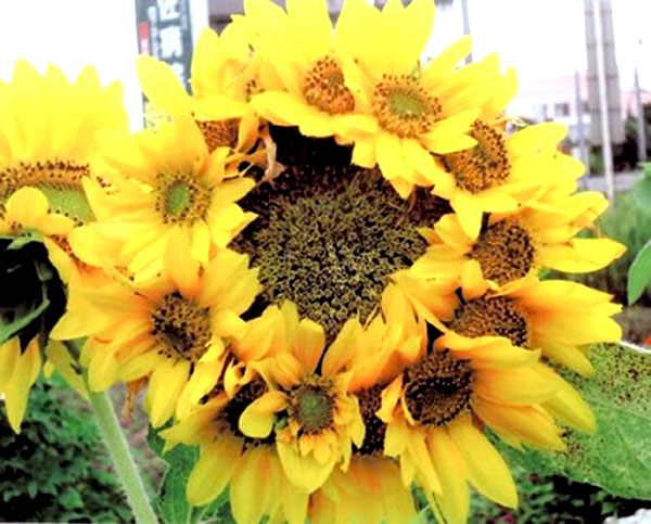 solar flare sunflower